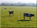 SP7411 : Pasture, Cuddington by Andrew Smith