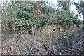 SU4787 : A covering of ivy by Bill Nicholls