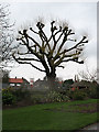 TQ4177 : Hornfair Park: pollarded tree by Stephen Craven