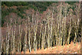 NY3881 : The edge of a birch wood at Tarrasfoot Hill : Week 11