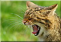 TQ3643 : Yawning Wildcat at the British Wildlife Centre, Newchapel, Surrey by Peter Trimming
