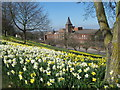 TQ7567 : Daffodils in Fort Pitt Gardens by David Anstiss