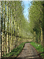 TQ8658 : Poplars along Bicknor Road : Week 14