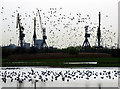 J3777 : Cranes and birds, Belfast by Rossographer