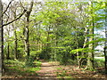 SU7987 : Beech woods with spring leaves by David Hawgood