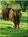 SU2470 : A closer view of some Highland cattle, near Axford : Week 16