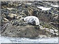 SV9513 : Atlantic Grey Seal by Oliver Dixon