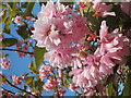TQ8110 : Cherry blossom in Alexandra Park : Week 17