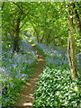 SP2488 : Woodland footpath in springtime, Dumble Wood by Andrew Hill