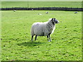 SE0699 : Swaledale ewe, Marrick by Miss Steel