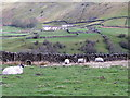 NZ0200 : Sheep grazing near Reeth by Miss Steel