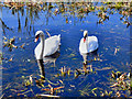 SD7908 : Swans on the Canal by David Dixon