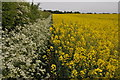SO8744 : Oilseed rape and cow parsley by Philip Halling