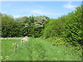 SP8907 : Field corner with cow parsley and hawthorn by David Hawgood