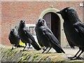 TQ6410 : Jackdaws at Herstmonceux Castle : Week 20