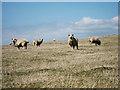 TV5799 : Sheep near Eldon Bottom by Oast House Archive