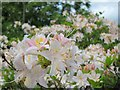 TQ6410 : Azaleas at Herstmonceux Castle gardens by Oast House Archive