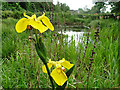 TG2309 : Yellow Flag Irises near Cow Tower, Norwich : Week 20