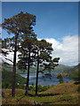 NY3816 : Scots Pines on Keldas : Week 21