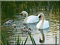 SU1882 : Swans on the lagoon, Great Western Hospital, Swindon : Week 21