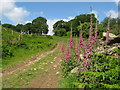 ST0683 : Foxgloves beside the Ridgeway Footpath : Week 22