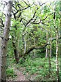 SE1037 : Old coppiced oak, Cottingley Wood Estate by Humphrey Bolton