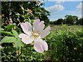 TR0959 : Wild rose near Bossenden Woods by Oast House Archive