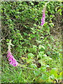 ST8428 : Foxgloves, Lower Park Farm by Miss Steel