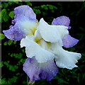 SO6424 : Blue iris after rain by Jonathan Billinger