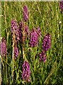 SX9066 : Orchids, former Barton tip by Derek Harper