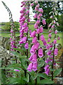 SK3170 : Foxgloves by the footpath, Wadshelf by Andrew Hill
