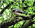 SJ8955 : Young Nuthatch by Jonathan Kington