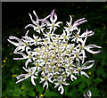 SJ9055 : Flowers of the Common Hogweed by Jonathan Kington