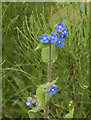 SD6914 : A wildflower - a form of Speedwell? by Ian Greig