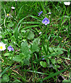 SJ8955 : Germander Speedwell by Jonathan Kington