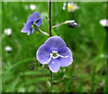 SJ8955 : Flower of the Germander Speedwell by Jonathan Kington