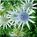 SO6424 : Eryngium bourgatii by Jonathan Billinger