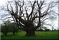 TQ8033 : Tree by the HWLT, Benenden School by N Chadwick