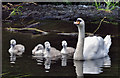 J2766 : Swan and cygnets, Lambeg by Albert Bridge