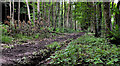 J4477 : Path, Cairn Wood, Craigantlet (4) by Albert Bridge