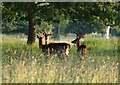 SP2656 : Deer at Charlecote by Derek Harper