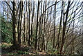 TQ4951 : Coppicing, Hanging Bank by Nigel Chadwick