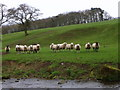 NZ0722 : Sheep by Langley Beck by Miss Steel