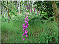 NY2824 : Foxgloves in Brundholme Wood by Stephen Craven