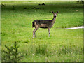 NZ1321 : Deer at Raby Castle by David Dixon