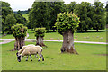 SK2570 : Sheep at Chatsworth, Derbyshire by Christine Matthews