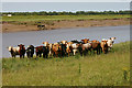 TF5916 : Livestock beside River Great Ouse by David Kemp