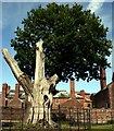 SJ7387 : The ancient oak at Dunham Massey by Jeff Buck