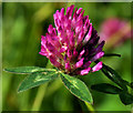 J1463 : Red clover, Soldierstown near Moira by Albert Bridge