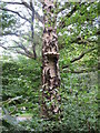 TQ4299 : Bracket fungus on Silver Birch by Roger Jones
